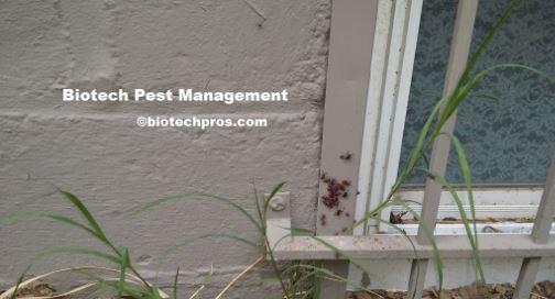 boxelder-bugs-around-window